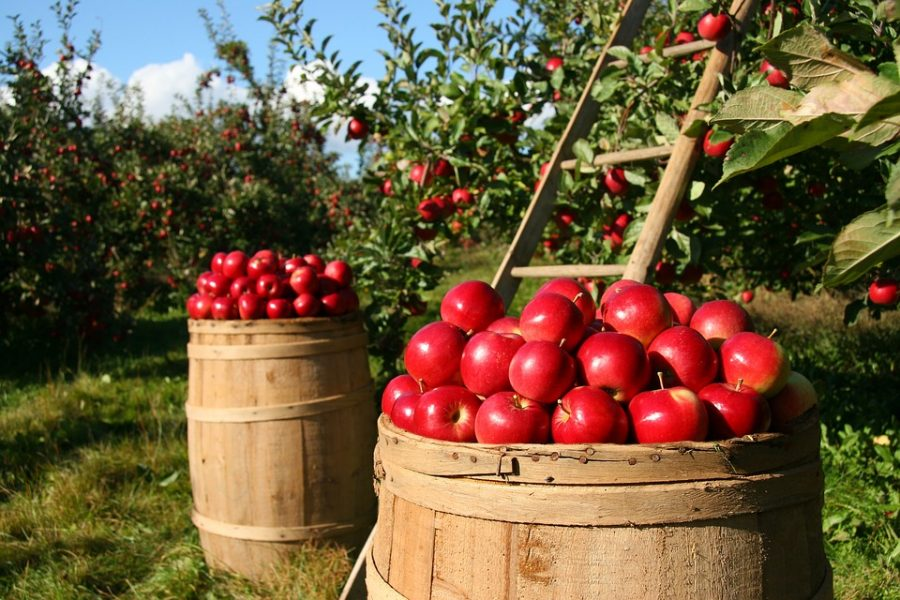 Battle of the Orchards: Spicer's Vs. Parshallville